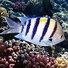Red Sea Abudefduf Saxatilis  by hurmerinta