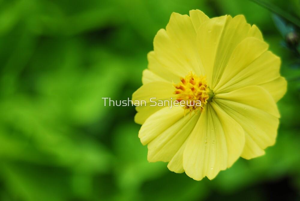 Eight Petal flower by Thushan Sanjeewa