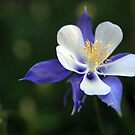 Rocky Mountain Columbine by Nikki Moore