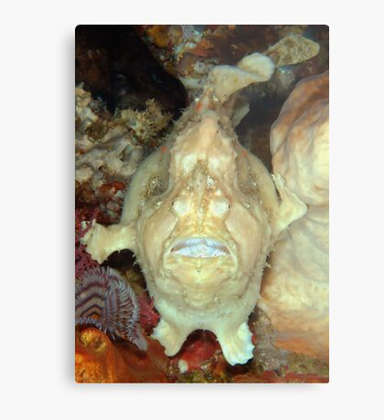 Giant Frogfish Metal Print