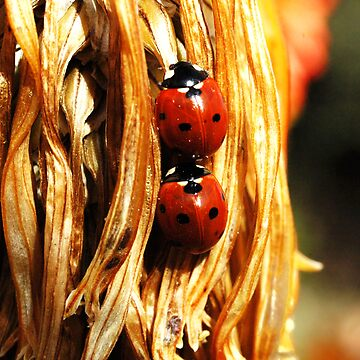 ladybugs by dcrrld