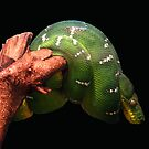 emerald tree boa by marianne troia