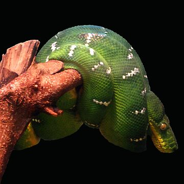 emerald tree boa by emtee656