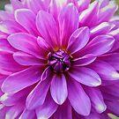 Garden Pink by Jessica Manelis