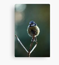 Blue tit perched on a lily skeleton Canvas Print