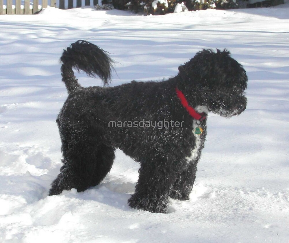 portuguese water dog full by marasdaughter