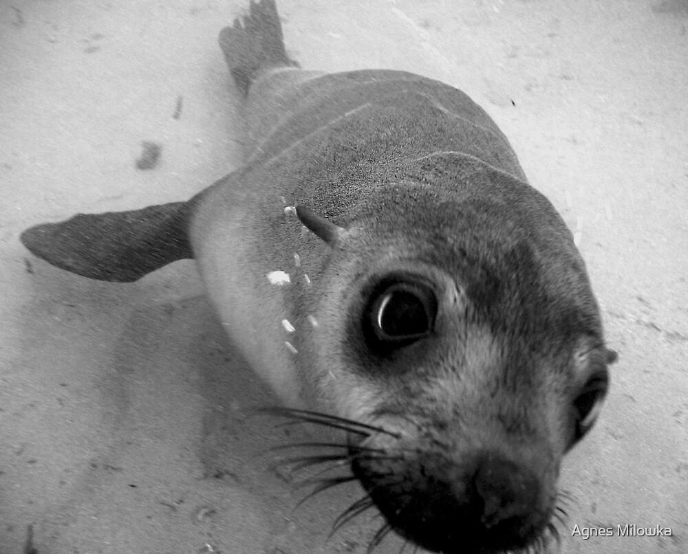 Curious Seal by Agnes Milowka