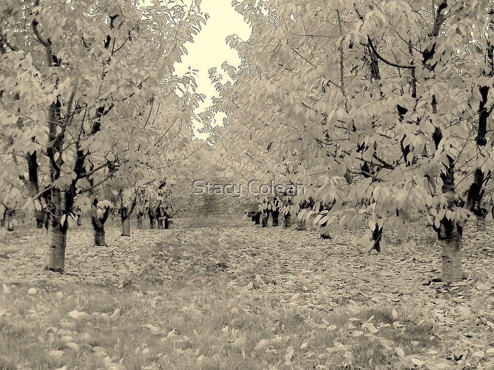 FALL TREES IN Black and White  by Stacy Colean