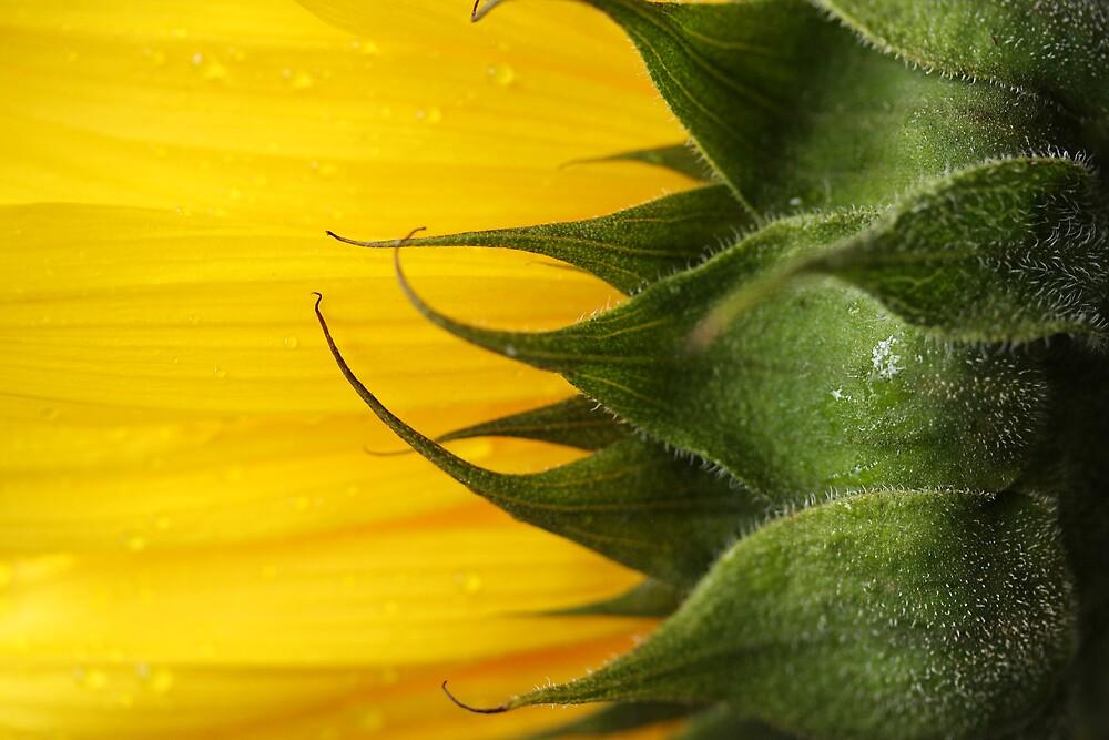 sunflower by jsbb123