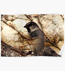 House Sparrow and Ivy Vines Poster