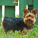 Little Yorkie by Idil
