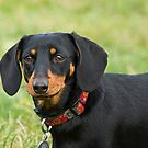 Doxie by Idil