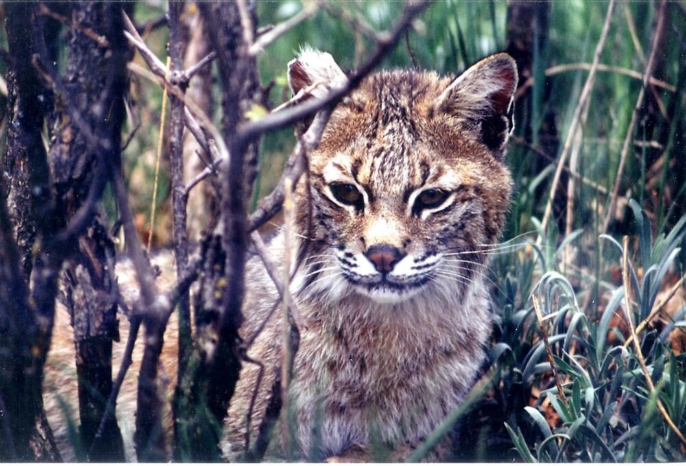Bobcat by JohnWright