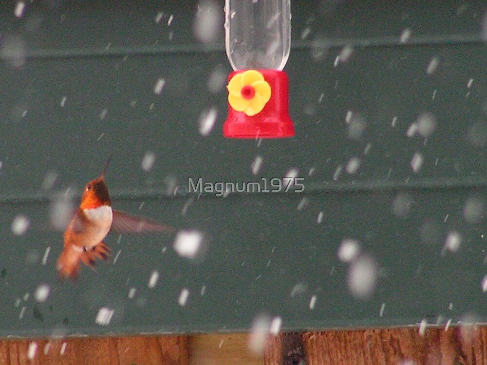 Hummingbird in the Snow by Magnum1975