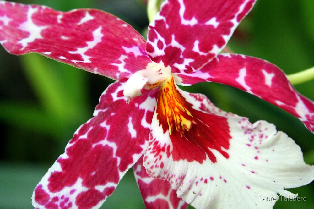 Magenta & White Wilsonaria Orchid by Laurel Talabere