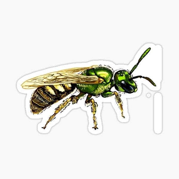 Halictidae - Lasioglossum sp. Sticker
