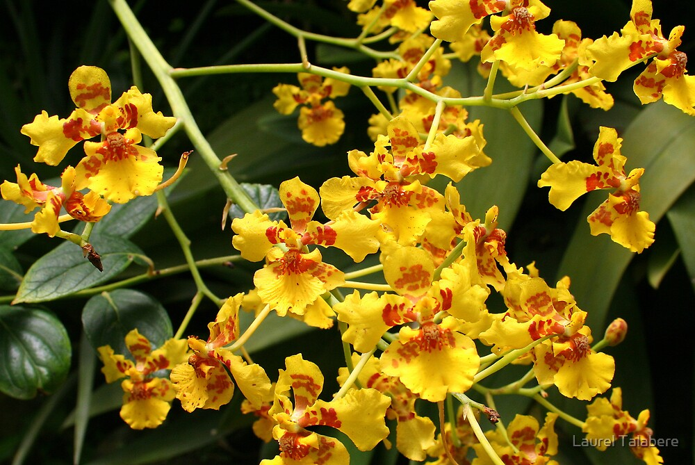 Little Yellow Dancing Lady Orchids (oncidia) * by Laurel Talabere