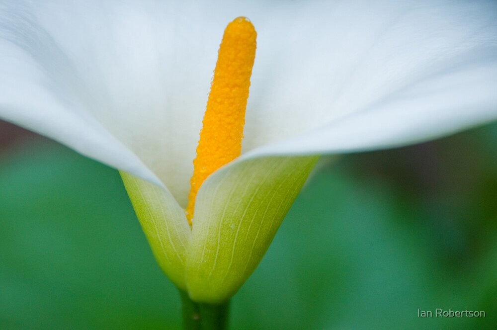 arum lily by Ian Robertson