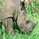 UP CLOSE THE BABY RHINO - White Rhinoceros - Ceratotherium simum  -  WIT RENOSTER by Magriet Meintjes