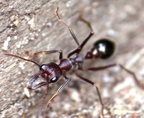 Bull Ant  by Selina Tour