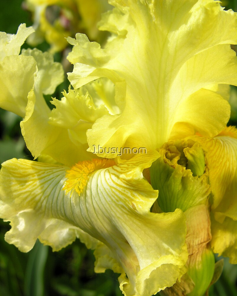 profile of a yellow iris by 1busymom