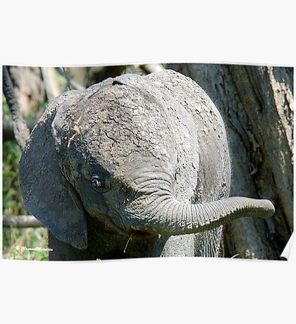 AFTER A MUD BATH, THE BABY ELEPHANT  - THE AFRICAN ELEPHANT – Loxodonta Africana Poster