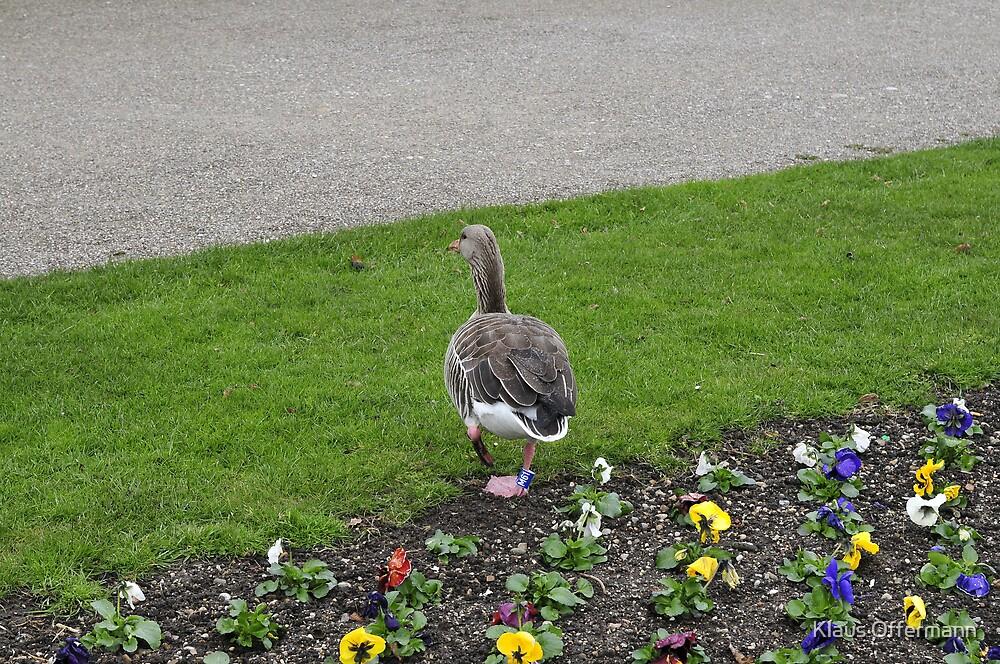 Duck in the flowerbed by Klaus Offermann