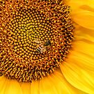 The Abundant Honey Bee and Sunflower #bee #sunflower #flower #spiritanimal #art #decor #gifts #photography by Jacqueline Cooper