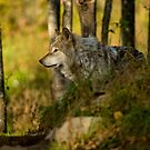 Timber Wolf In The Forest by WolvesOnly