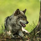 Gray Wolf Resting In The Shade by WolvesOnly