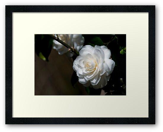 White Camellia by Karen  Burgess