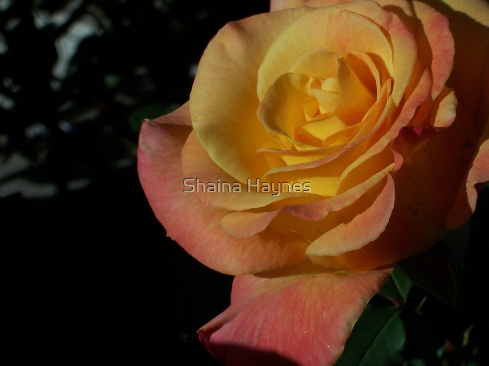 Orange Sherbet  by Shaina Haynes