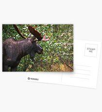 Bull Moose Postcards