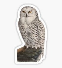 Vintage Natural History Illustration Snowy Owl Sticker