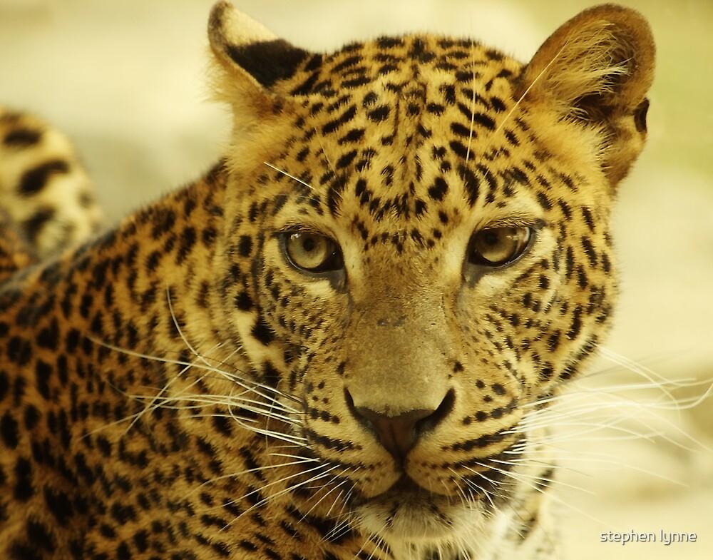 leopard .. deep stare by stephen lynne