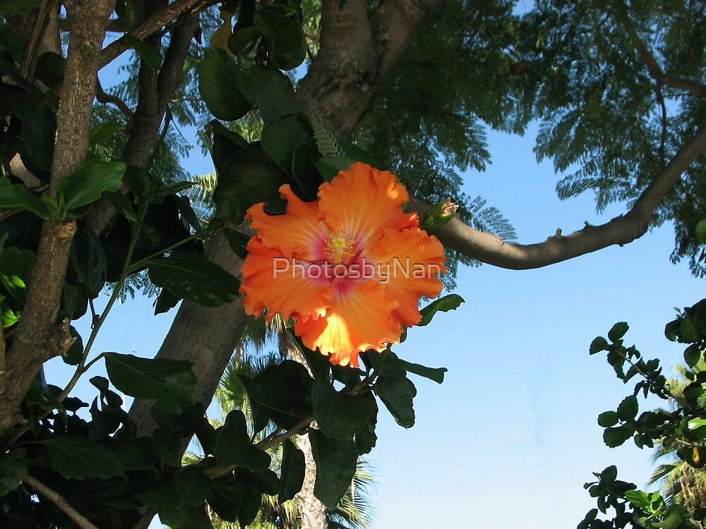 Orange Hibiscus by PhotosbyNan