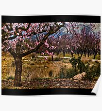 Almond in Spring Poster