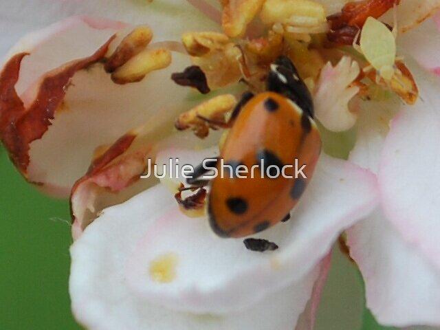 Lady Beetle on Malus Ioensus 'Plena' by Julie Sherlock