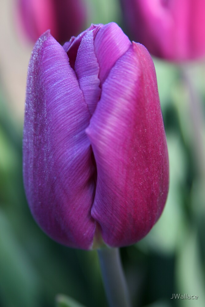 Morning Tulip by JWallace