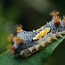 Mottled Cup Moth Caterpillar by Andrew Trevor-Jones