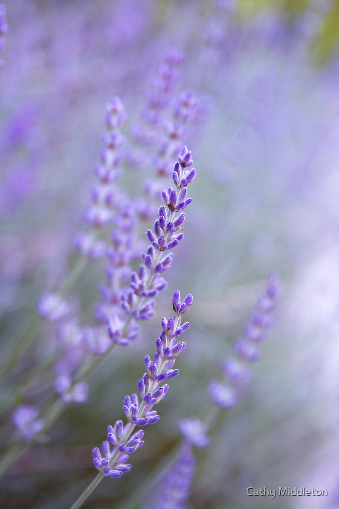 Sweet Lavender by Cathy Middleton