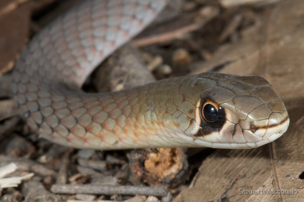 Yellow-faced whipsnake by Stewart Macdonald