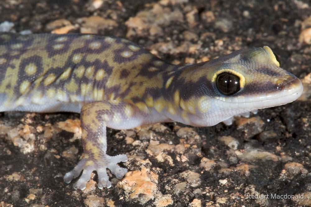 Northern spotted velvet gecko by Stewart Macdonald