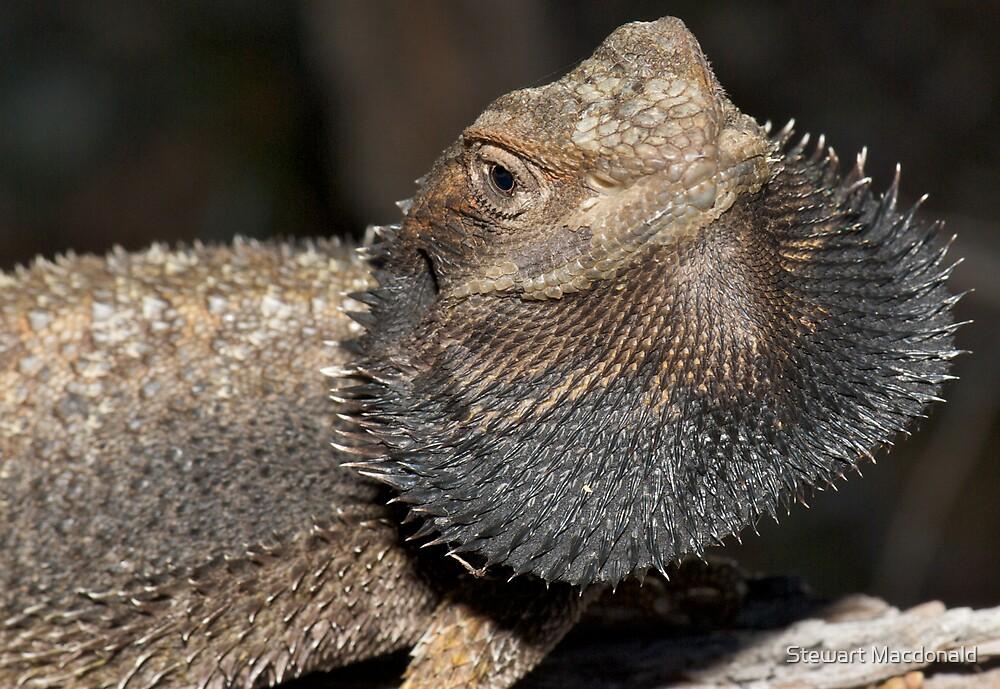 Eastern bearded dragon by Stewart Macdonald