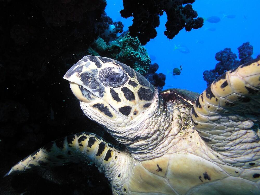 Loggerhead Turtle by fergy
