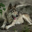 Gray Wolf  by WolvesOnly