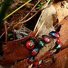 Jewelled bug series  - Ground Shield Bugs - Choerocoris paganus  by Of Land & Ocean - Samantha Goode
