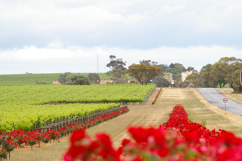 vine yards by janfoster
