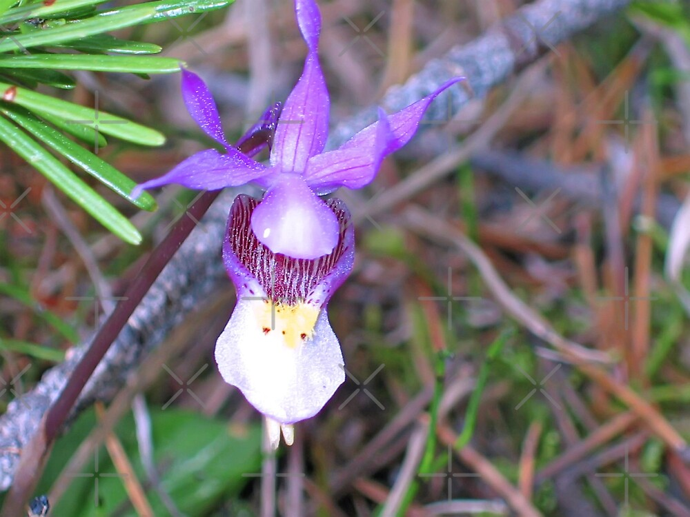 Calypso Orchid by Vickie Emms
