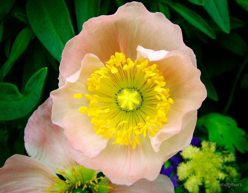 Yellow & Pink Flower Closeup by andymars